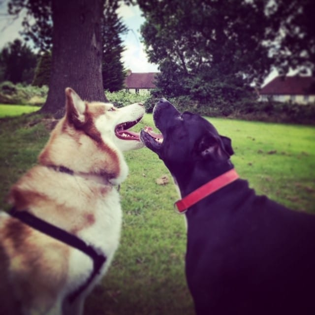 dog walking in Snodland. Two dogs playing at lush green field in Snodland. Secure field hire for dog walking