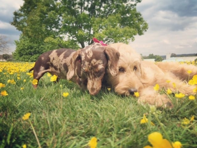 two fluffy dogs relaxing relaxing on lush green grass and yellow flowers on a sunny day