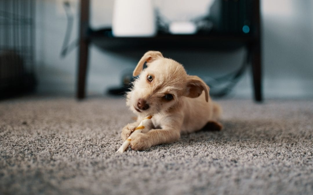 puppy sitting on a brown, clean carpet in living room
